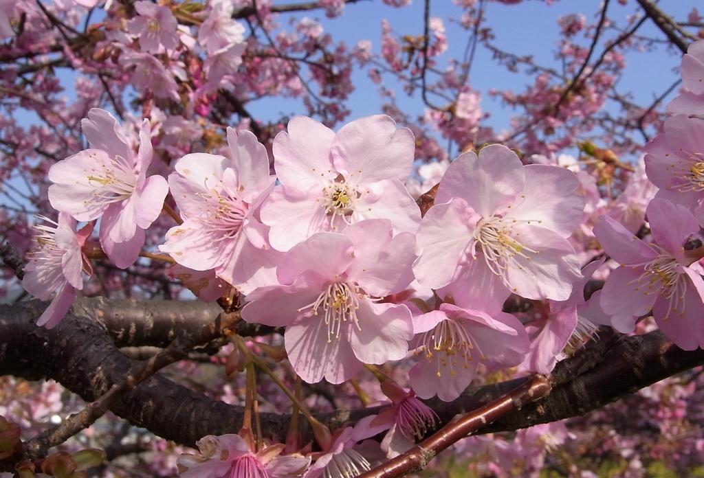 Kawazu-zakura (Cherry Blossoms) inShizuoka